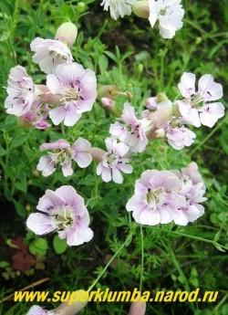 СМОЛЕВКА ПРИМОРСКАЯ (Silene maritima) Многолетнее растение до 25 см высотой, растущее в виде круглой, серо-зеленой подушки. Цветки диаметром 2-3см , меняют оттенок от розового до белого. Цветет в июле-августе. Хорошо подходит для горки. НОВИНКА!  НЕТ  В ПРОДАЖЕ