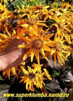 """БУЗУЛЬНИК ЗУБЧАТЫЙ """"Бритт Мари Крауфорд"""" (Ligularia dentata """"Britt Marie Crawford"""") соцветие крупным планом, крупные (диаметр  10 см) апельсиновые ромашковидные с коричневой серединкой цветы, собраны в соцветия корзинки. ЦЕНА 300 руб (делёнка)"""