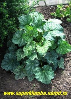"""Гейхера """"ГРИН СПАЙС"""" (Heuchera """"Green Spice"""") На фото летом. Летняя листва темно-зеленая с серебряными пятнами и темным жилкованием. ЦЕНА 250-300 руб  (куст)"""