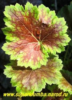 """Гейхера """"ЭКО-МАГНИФИФОЛИЯ"""" (Heuchera Eco-Magnififolia) Лист крупным планом. В осенне-зимний период изредко возможно появление ярко-кораллового ободка по контору листьев. Неприхотливый сорт , хорошо нарастает.  ЦЕНА 250-300 руб  (куст)"""