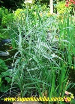 ДВУКИСТОЧНИК ТРОСТНИКОВЫЙ или ФАЛЯРИС (Phalaris arundinacea) пышный многолетний злак с полосатой широкой бело-зеленой листвой, соцветия-густые колосовидные метелки до 20см длиной, высота до 80см, быстро разрастается, поэтому на маленьких площадях нуждается в ограничивающих рост емкости. На фото молодой куст на берегу маленького дачного прудика. Пестрая листва фаляриса прекрасно контрастирует с темнозеленой листвой аировидного ириса. ЦЕНА 150 руб (делёнка)