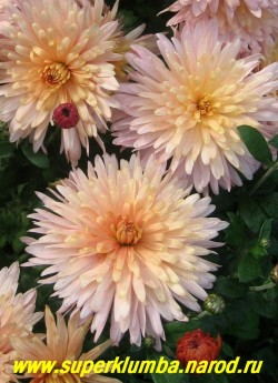 """Хризантема """"РОЗОВО-КРЕМОВАЯ"""".  Цветы в полном роспуске.    ЦЕНА  200-400 руб (1 делёнка)"""