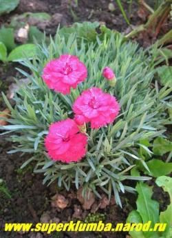 """ГВОЗДИКА СЕРОВАТО-ГОЛУБАЯ """"АННЕТ"""" (Dianthus gratianopolitanus  """"Annette"""") Очаровательная очень низкая гвоздичка  высотой до 9 см представляющая из себя плотную ежисту. кочку и с голубой листвой и довольно крупными до 3см в иаметре темно-малиновыми махровыми цветами. Неприхотлива, боится лишь вымокания. Цветет в июле-августе.  НОВИНКА!  ЦЕНА 300 руб"""