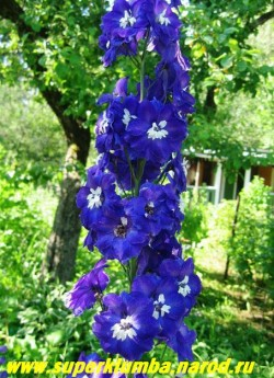 """ДЕЛЬФИНИУМ """"фиолетовый с белым глазом"""", полумахровый, диаметр цветка 4 см, цветет в июне-июле, часто повторно в сентябре, высота до 1,8 м.   НЕТ В ПРОДАЖЕ"""