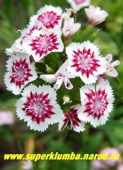 """ГВОЗДИКА БОРОДАТАЯ или ТУРЕЦКАЯ №4 """"Холборн глори"""" (Dianthus barbatus) . Белые с контрастным вишневым кольцом в центре , до 2 см в диаметре цветы , ароматные. Стоит в вазе до 2-х недель. Цветет июнь- июль . Высота до 45 см. ЦЕНА 150-200 руб (1 дел)"""