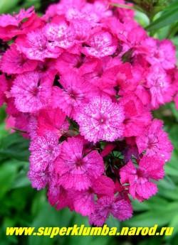 ГВОЗДИКА БОРОДАТАЯ или ТУРЕЦКАЯ №2 (Dianthus barbatus) . Малиновые с белым крапом цветы, позже крап исчезает , ароматные, в соцветиях 8-12 см в поперечнике. Стоит в вазе до 2-х недель. Цветет июнь- июль . Высота до 45 см. ЦЕНА 150 руб (1 дел)