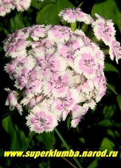 ГВОЗДИКА БОРОДАТАЯ или ТУРЕЦКАЯ №1 (Dianthus barbatus) . Белые с розовым кольцом 1,5 см в диаметре, ароматные цветы, в соцветиях 8-12 см в поперечнике. Стоит в вазе до 2-х недель. Цветет июнь- июль. Высота до 45 см. НЕТ  В ПРОДАЖЕ