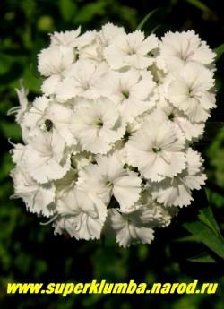 ГВОЗДИКА БОРОДАТАЯ или ТУРЕЦКАЯ №5 (Dianthus barbatus) Белые с едва различимым розовым цветом в центре цветка, ароматные. Стоит в вазе до 2-х недель. Цветет июнь- июль . Высота до 45 см. НЕТ  В ПРОДАЖЕ