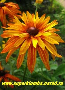 РУДБЕКИЯ ГИБРИДНАЯ №10 (Rudbeckia x hybrida) Махровые цветы перецветающие от желтых с терракотовым центром до полностью терракотовых. ЦЕНА 250 руб. (делёнка)