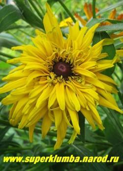РУДБЕКИЯ ГИБРИДНАЯ №7 (Rudbeckia x hybrida) густо-махровые чисто- желтые крупные цветы с тонкими длинными лепестками и коричневой серединкой, диаметр цветка 12-15 см, высота 60-70 см, цветет июль-август.  НЕТ  В ПРОДАЖЕ