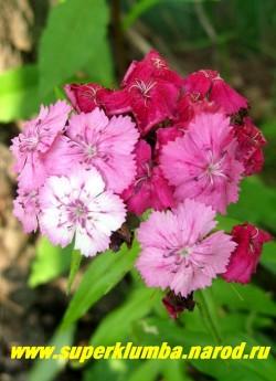 ГВОЗДИКА БОРОДАТАЯ или ТУРЕЦКАЯ №6 (Dianthus barbatus) . Хамелеон, цветы распускаются бело-розовыми и постепенно темнеют до темно- малиновых . Стоит в вазе до 2-х недель. Цветет июнь- июль . Высота до 450 см. НЕТ  В ПРОДАЖЕ