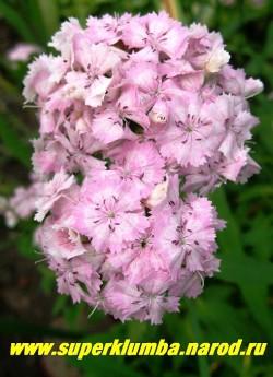 ГВОЗДИКА БОРОДАТАЯ или ТУРЕЦКАЯ №3 (Dianthus barbatus) . Цветы нежно-розовые с белым кольцом в центре цветка , ароматные, в соцветиях 8-12 см в поперечнике. Стоит в вазе до 2-х недель. Цветет июнь- июль . Высота до 45 см. НЕТ  В ПРОДАЖЕ