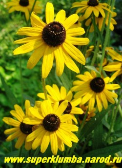 """РУДБЕКИЯ ГИБРИДНАЯ """"Черноглазая Сюзанна""""  (Rudbeckia x hybrida """"Black-eyed Susan"""") очень контрастные желто-черные цветы диаметром 6-7 см, высота до 80 см, цветет июль-август.  НЕТ В ПРОДАЖЕ"""