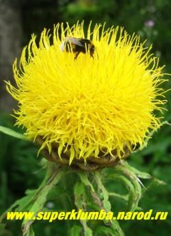 ВАСИЛЕК КРУПНОГОЛОВЫЙ (Centaurea macrocephala) цветок крупным планом , куст хорошо держит форму не разваливается, используется на заднем фоне цветника или как солитер. ЦЕНА 200 руб  (1 делёнка)