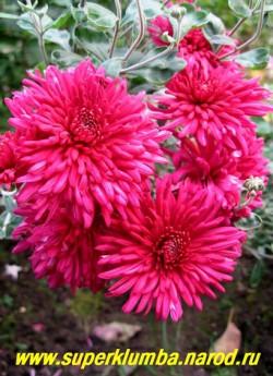 """Хризантема """"СВЕКОЛЬНО-МАЛИНОВАЯ"""". Густомахровые крупные цветы насыщенного свекольно-малинового цвета , диаметр цветка 7-8 см, высота куста 50-60см, цветет август-октябрь.  НЕТ  В ПРОДАЖЕ"""