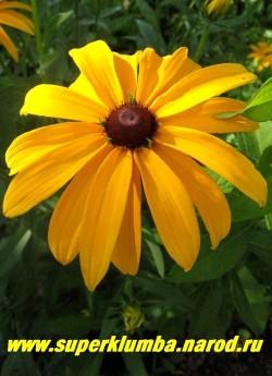 РУДБЕКИЯ ГИБРИДНАЯ №3 (Rudbeckia x hybrida) крупные яично-желтые цветы чистого цвета с темно-коричневой серединкой, диаметр цветка 11-12см, высота 90 см, цветет июль-август. ЦЕНА 150 руб (делёнка)