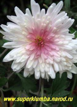 """Хризантема """" МЕЧТА"""". Махровая, диаметр цветка 5-6 см, высота 50-60 см, цветение август-октябрь, ЦЕНА 200 руб (1 шт)"""