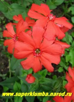 ЛИХНИС ХААГЕ (Lychnis x haageana) Цветы крупным планом. НЕТ  В ПРОДАЖЕ