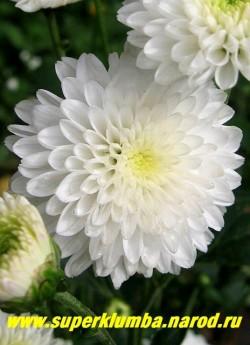 """Хризантема """"СНЕЖАНА"""". Цветок крупным планом. На зиму желательно профилактическое укрытие. НЕТ В ПРОДАЖЕ"""