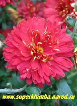 """Хризантема """"БРЕННПАНКТ""""  Необычная двухцветная расцветка махровых цветков- внутренняя сторона лепестков красная , наружная золотистая. Высота 60- 80 см. Цветет август-сентябрь.  НЕТ В ПРОДАЖЕ"""