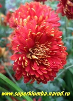 """Хризантема """"БРЕННПАНКТ"""" цветок в роспуске. Диаметр цветков 6 - 6,5 см.  НЕТ В ПРОДАЖЕ"""
