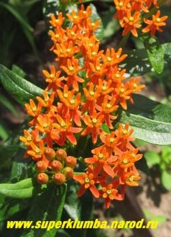 ВАТОЧНИК ТУБЕРОЗОВЫЙ (Asclepias tuberosa) невысокий 50-70 см в высоту ваточник с ярко-оранжевыми цветами, собранными в крупные соцветия зонтики. Неприхотлив в целом, но на зиму в Подмосковье желательно укрытие.  НЕТ В ПРОДАЖЕ.