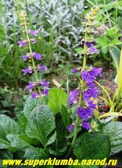 ХОРМИНУМ ПИРЕНЕЙСКИЙ (Horminum pyrenaicum) редкий в культуре альпиец . Листья в центре розетки красивого салатного оттенка, желтеющие к основанию и зеленеющие к краям, собраны в прикорневую розетку. Цветет в июне-июле, иногда повторно в августе, темно-фиолетовыми цветами собранными в колосовидные соцветия 15-20 см в высоту. НОВИНКА!  НЕТ В ПРОДАЖЕ