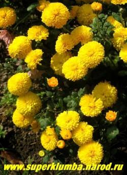 """Хризантема """" МИШАЛЬ"""". Фотография куста.  ЦЕНА 250 руб (1 шт)  НЕТ В ПРОДАЖЕ"""