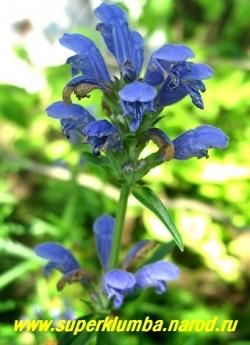 ЗМЕЕГОЛОВНИК АРГУНСКИЙ (Dracocephalum argunense) Соцветие крупным планом .Крупные лазурно- синие цветки собраны в соцветие кисть, массовое цветение приходится на середину лета. Неприхотлив, засухоустойчив и солнцелюбив. Идеально для горок и каменистых садов. РЕДКОЕ! НЕТ В ПРОДАЖЕ
