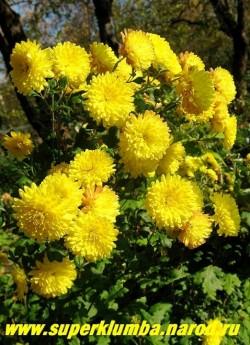 """Хризантема """"ЛИМОННАЯ"""". Хризантема с лимонно-желтыми махровыми цветами иногда с небольшим розовым """"загаром"""" на полностью распустившихся цветах , диаметром 5,5-6,5 см, высота 55- 65 см, цветет с августа по сентябрь, ЦЕНА  150-250 руб (1 деленка)"""