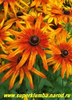 РУДБЕКИЯ ГИБРИДНАЯ №1 (Rudbeckia x hybrida) цветы крупным планом, все рудбекии предпочитают открытые солнечные места и хорошо окультуренные плодородные почвы. ЦЕНА 200 руб (делёнка)