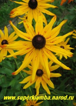 РУДБЕКИЯ ГИБРИДНАЯ №2 (Rudbeckia x hybrida) желтые вначале цветы , в процессе цветения приобретают терракотовые мазки по центру и кончикам лепестков, диаметр цветка 10-11см, высота 80см, цветет июль-август.  ЦЕНА 200 руб (делёнка)