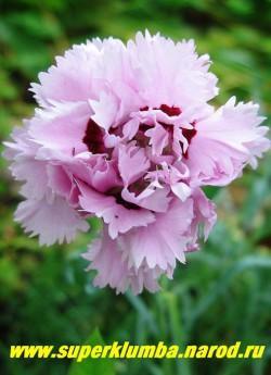 """ГВОЗДИКА АЛЬВУДА """"Малиновый рассвет"""" (Dianthus allwoodii """"Raspberry Surprise"""") светло-розовые махровые цветки с темновишневым пятном в центре, диаметром 3,5-4 см , срезочная, очень душистая, высота до 30 см, цв. июнь-июль, НЕТ В ПРОДАЖЕ"""