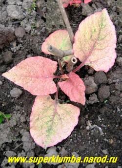 """ГОРЕЦ ЯПОНСКИЙ """"Вариегата"""" (Polygonum cuspidatum ''Variegata'') Яркая кораллово-розовая окраска молодой весенней листвы. НЕТ В ПРОДАЖЕ"""