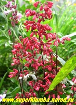 """Гейхера """"СВЁЛИНГ ФЭНТЕЗИ"""" (Heuchera """"Swirling Fantasy"""") Цветы крупным планом. Цветки крупные малиново-красного цвета. Цветение обильное, сорт неприхотливый. Предпочитает ажурное притенение НЕТ  В ПРОДАЖЕ"""