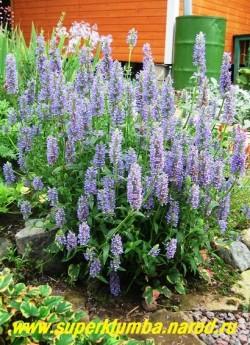 """КОТОВНИК ЖИЛКОВАТЫЙ """"Синий ковер"""" (Nepeta nervosa) Зимостойкое многолетнее растение высотой 25-40см. С июня по сентябрь украшает сад густыми голубыми кистями ароматных соцветий. НЕТ В ПРОДАЖЕ"""