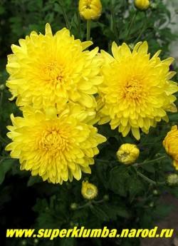 """Хризантема """"ЖЕЛТАЯ КРУПНОЦВЕТКОВАЯ""""  Цветок густомахровый ярко-желтый в форме помпона, диаметр цветка 6-7 см. Высота 50-60 см. Цветет август-октябрь. Неприхотливая, хорошо зимует.  ЦЕНА  250 руб (1 шт)"""