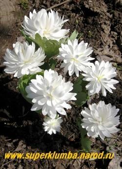 """САНГВИНАРИЯ КАНАДСКАЯ """"Флоре Плено"""" (Sanguinaria canadensis """"Flore Pleno"""") махровые белоснежные цветы, обернутые серо-голубыми резными листьями , дольше держаться в тени деревьев, высота 15-20 см, диаметр цветка до 7,5 см, цветет апрель-май, НЕТ  В ПРОДАЖЕ"""