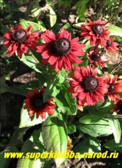 """РУДБЕКИЯ ГИБРИДНАЯ """"ЧЕРРИ БРЭНДИ"""" (Rudbeckia x hybrida """"Cherry Brandy"""") новый потрясающий сорт с вишнево-красными соцветиями! Диаметр цветка 7-8 см. Высота 50-60 см. НОВИНКА! ЦЕНА 300 руб (делёнка)"""
