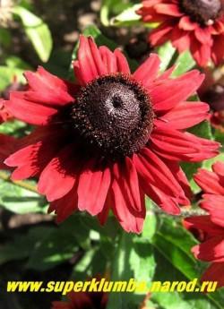 """РУДБЕКИЯ ГИБРИДНАЯ """"ЧЕРРИ БРЭНДИ"""" (Rudbeckia x hybrida """"Cherry Brandy"""") Цветок крупным планом. НОВИНКА! ЦЕНА 300 руб (делёнка)"""