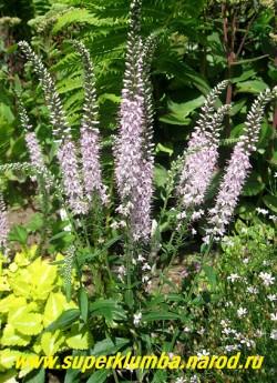 """ВЕРОНИКА КОЛОСКОВАЯ """"Фейритейл"""" (Veronica spicata ''Fairytale'') цветет с середины июня 35-40 дней нежно-сиреневыми метельчатыми соцветиями до 15 см длиной. Предпочитает полное солнце и легкие почвы. Высота до 30см, НОВИНКА! ЦЕНА 200 руб (дел)  НЕТ В ПРОДАЖЕ"""