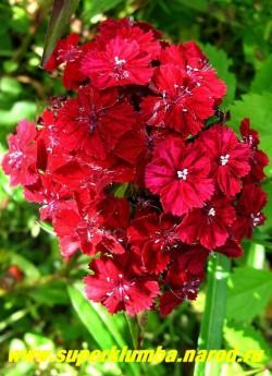 ГВОЗДИКА БОРОДАТАЯ или ТУРЕЦКАЯ №7 (Dianthus barbatus) . Бархатные темнобордовые цветы , 1,5 см в диаметре , ароматные. Стоит в вазе до 2-х недель. Цветет июнь- июль . Высота до 45 см. ЦЕНА 150-200 руб (1 дел)