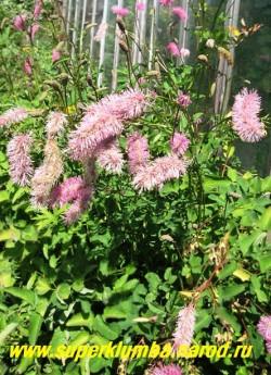 КРОВОХЛЕБКА ТУПАЯ (Sanguisorba obtusa) Очень красивая кровохлебка с крупными (до 10 см) пушистыми поникающими ярко-розовыми соцветиями и сложными красиво рассеченными листьями. Высота до 1 м,  цветет в августе. НОВИНКА! ЦЕНА 200-250 руб (делёнка)