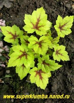 """ТИАРЕЛЛА """"Стоп лайт"""" (Tiarella """"Stop Light"""") очень яркая желтая с малиновым центром резная листва, белые цветы, предпочитает тень-полутень, цветет май-июнь, высота 15-20 см,  ЦЕНА 300 руб  (куст) НЕТ НА ВЕСНУ"""