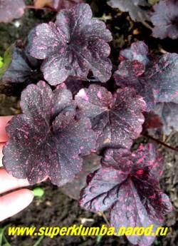 """Гейхера """"МИДНАЙТ РОУЗ"""" (Heuchera """"Midnight Rose"""") Очень красивый сорт. Листья весной коричнево-чёрные, покрыты ярко-розовыми пятнышками и точками, летом пятнышки кремовые и розовые, куст компактный, цветы мелкие кремовые , высота 15-25 см. Предпочитает солнце-полутень. ЦЕНА 300-350 руб (куст) НЕТ НА ВЕСНУ"""