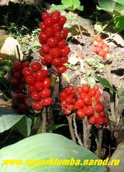 АРОННИК ВОСТОЧНЫЙ (Arum оrientale) Осенью созревают очень эффектные,  но несъедобные, плотные початки с ярко-оранжевыми ягодами.  НОВИНКА! ЦЕНА 150 руб