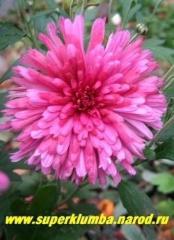 """Хризантема """"ТРИНКЛЕ ПЁПЛ""""  Цветок крупным планом, раскрывается насыщенно-свекольной, затем постепенно розовеет. Диаметр цветка 5-6 см.  ЦЕНА 150-250 руб (1 делёнка)"""
