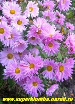 Хризантема РОЗОВАЯ РОМАШКА.  Крайне неприхотливая, полумахровая, диаметр цветка 5-6 см, высота 80 см. ЦЕНА 150-200 руб (1 делёнка)