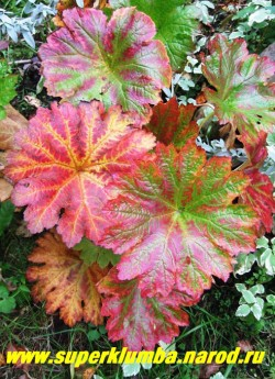 А осенью листва ДАРМЕРЫ живописно окрашивается в различные оттенки красно-оранжевого цвета. ЦЕНА 300-400 руб (делёнка)