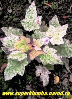 """ТИАРЕЛЛА """" Херонсвуд Мист"""" (Tiarella """"Heronswood Mist"""") очень красивая тиарелла со светло-зеленой листвой испещренной мелким бело-розовым крапом, молодые листья ярко-розовые , Белые цветки собраны в колосовидные соцветия. Высота 15-20см, цветет май-июль, повторно осенью. НЕТ  В ПРОДАЖЕ"""